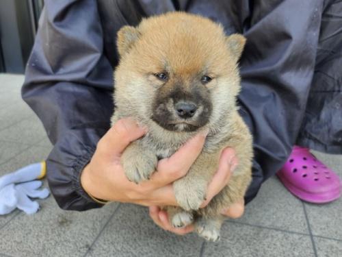 柴犬の子犬(ID:1242711297)の3枚目の写真/更新日:2017-09-11