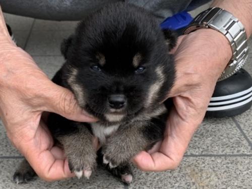 柴犬の子犬(ID:1242711298)の2枚目の写真/更新日:2017-09-21