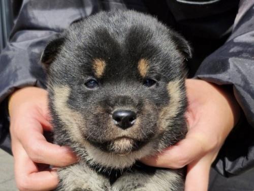 秋田犬の子犬(ID:1242711300)の1枚目の写真/更新日:2017-10-11