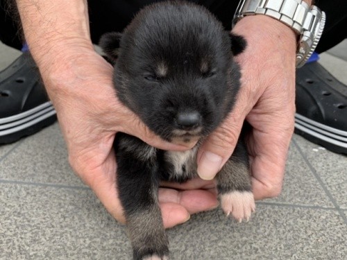 秋田犬の子犬(ID:1242711300)の2枚目の写真/更新日:2017-10-11