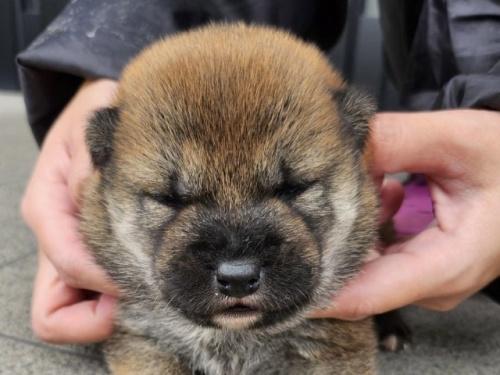 柴犬の子犬(ID:1242711302)の1枚目の写真/更新日:2017-10-11