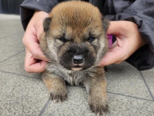柴犬の子犬(ID:1242711302)の2枚目の写真/更新日:2017-10-11