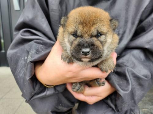 柴犬の子犬(ID:1242711302)の3枚目の写真/更新日:2017-10-11