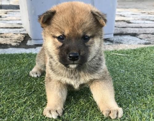 柴犬の子犬(ID:1242711304)の1枚目の写真/更新日:2017-10-11