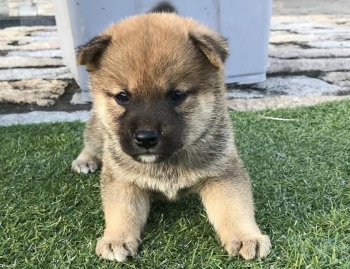 柴犬の子犬(ID:1242711304)の2枚目の写真/更新日:2017-10-11