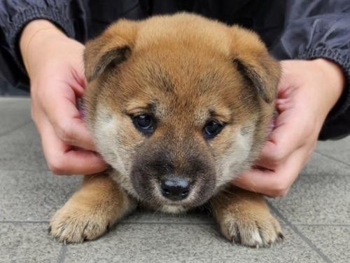 柴犬の子犬(ID:1242711305)の1枚目の写真/更新日:2017-10-21
