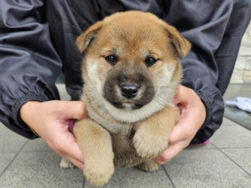 柴犬の子犬(ID:1242711305)の3枚目の写真/更新日:2017-10-21