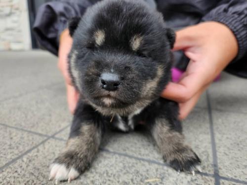 柴犬の子犬(ID:1242711306)の2枚目の写真/更新日:2017-10-21