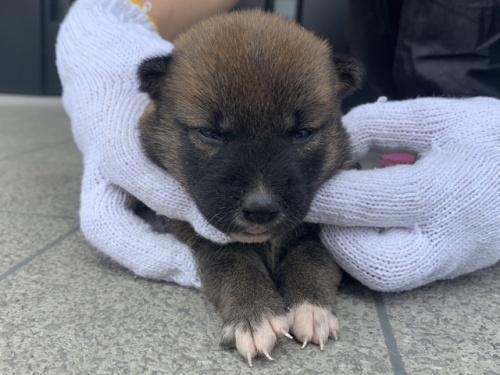 柴犬の子犬(ID:1242711307)の2枚目の写真/更新日:2018-08-08