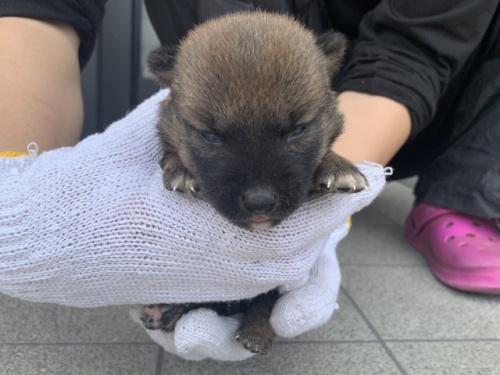 柴犬の子犬(ID:1242711308)の2枚目の写真/更新日:2017-10-21