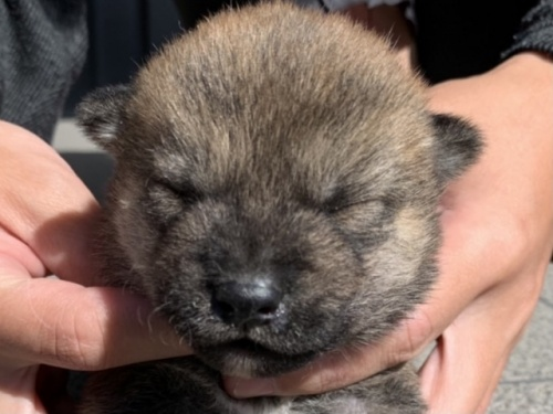 柴犬の子犬(ID:1242711309)の1枚目の写真/更新日:2018-08-08