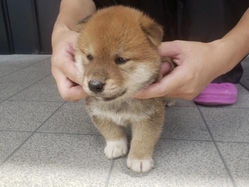 柴犬の子犬(ID:1242711309)の3枚目の写真/更新日:2017-10-21