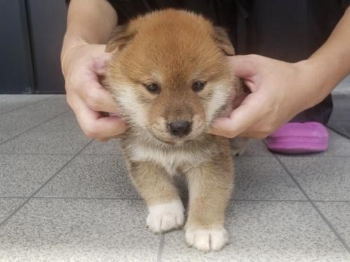 柴犬の子犬(ID:1242711309)の4枚目の写真/更新日:2017-10-21