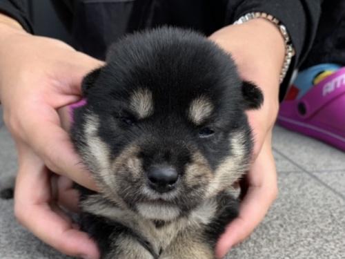 柴犬の子犬(ID:1242711312)の1枚目の写真/更新日:2017-11-06