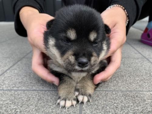柴犬の子犬(ID:1242711312)の2枚目の写真/更新日:2017-11-06