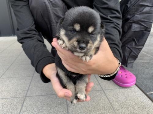 柴犬の子犬(ID:1242711312)の3枚目の写真/更新日:2017-11-06