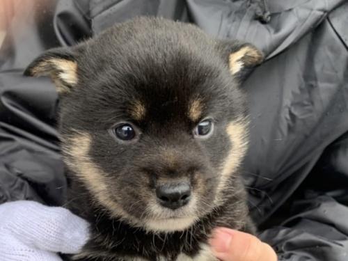 柴犬の子犬(ID:1242711314)の1枚目の写真/更新日:2017-11-24