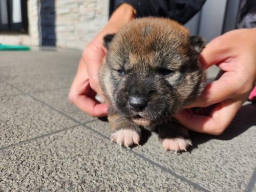柴犬の子犬(ID:1242711315)の2枚目の写真/更新日:2017-11-24