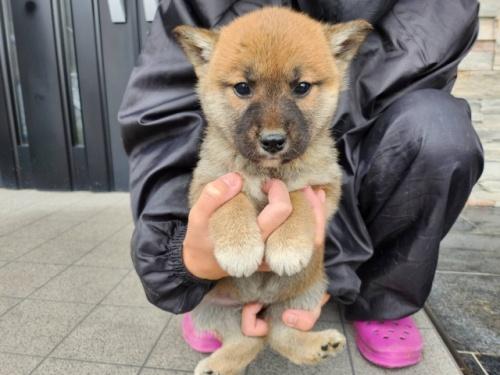 柴犬の子犬(ID:1242711317)の1枚目の写真/更新日:2017-11-24