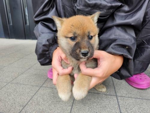 柴犬の子犬(ID:1242711317)の2枚目の写真/更新日:2021-06-01