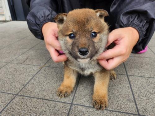 柴犬の子犬(ID:1242711319)の1枚目の写真/更新日:2017-11-24