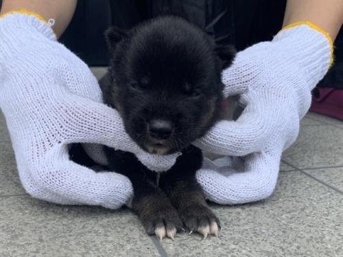 柴犬の子犬(ID:1242711320)の2枚目の写真/更新日:2017-12-04