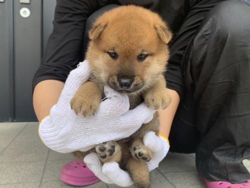 柴犬の子犬(ID:1242711327)の3枚目の写真/更新日:2018-10-15