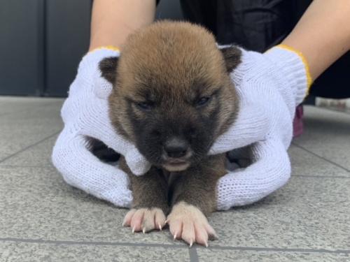 柴犬の子犬(ID:1242711329)の1枚目の写真/更新日:2017-12-29