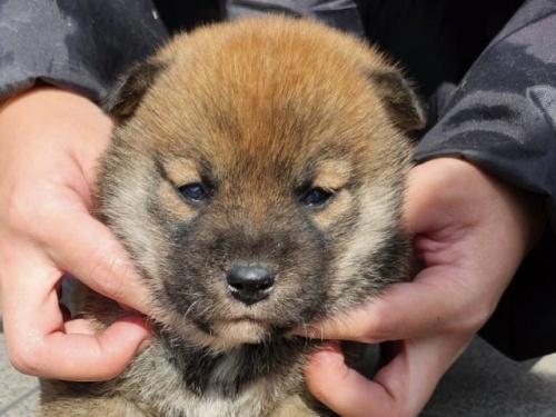 柴犬の子犬(ID:1242711338)の1枚目の写真/更新日:2021-06-01