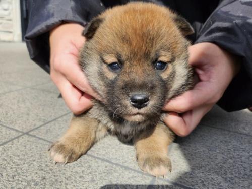 柴犬の子犬(ID:1242711338)の3枚目の写真/更新日:2021-06-01