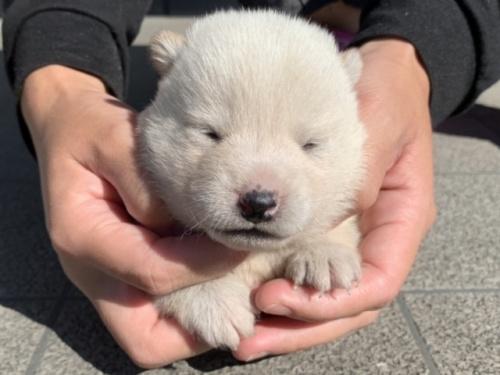 柴犬の子犬(ID:1242711341)の1枚目の写真/更新日:2019-01-11