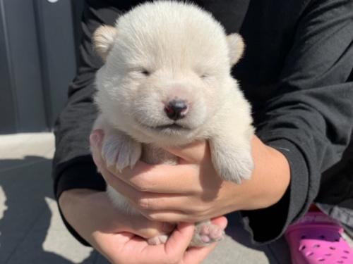 柴犬の子犬(ID:1242711341)の2枚目の写真/更新日:2019-01-11