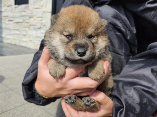 柴犬の子犬(ID:1242711342)の3枚目の写真/更新日:2018-02-24