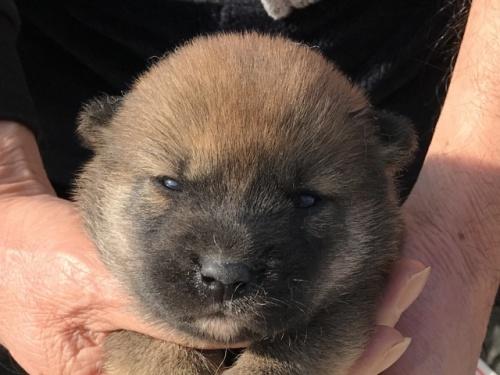 柴犬の子犬(ID:1242711344)の1枚目の写真/更新日:2018-02-24