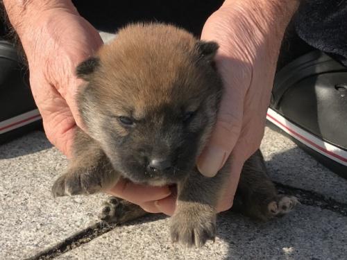 柴犬の子犬(ID:1242711344)の2枚目の写真/更新日:2018-02-24