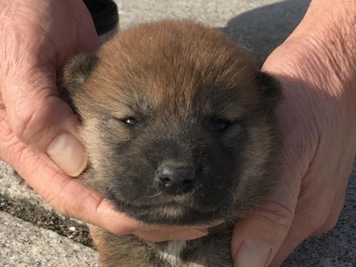 柴犬の子犬(ID:1242711345)の1枚目の写真/更新日:2018-02-24