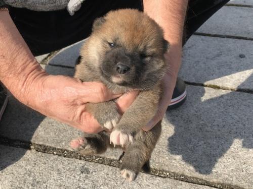 柴犬の子犬(ID:1242711346)の2枚目の写真/更新日:2018-04-16
