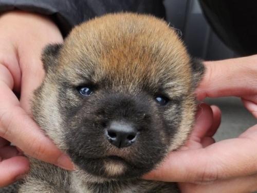 柴犬の子犬(ID:1242711348)の1枚目の写真/更新日:2018-04-16