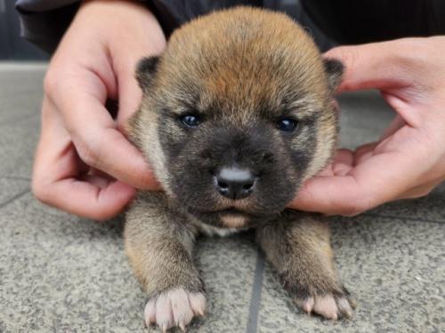 柴犬の子犬(ID:1242711348)の2枚目の写真/更新日:2018-04-16