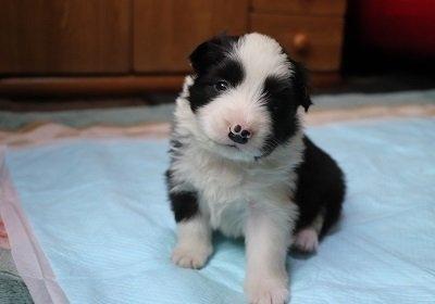 ボーダーコリーの子犬(ID:1242811003)の1枚目の写真/更新日:2019-03-01