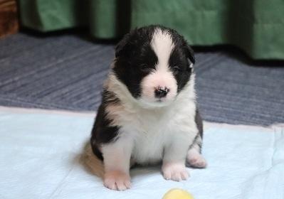 ボーダーコリーの子犬(ID:1242811011)の1枚目の写真/更新日:2019-04-17