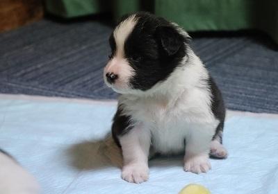 ボーダーコリーの子犬(ID:1242811011)の2枚目の写真/更新日:2019-04-17