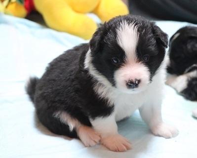 ボーダーコリーの子犬(ID:1242811011)の3枚目の写真/更新日:2019-04-17