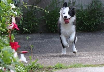 ボーダーコリーの子犬(ID:1242811012)の1枚目の写真/更新日:2019-04-17