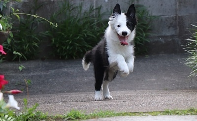 ボーダーコリーの子犬(ID:1242811012)の2枚目の写真/更新日:2019-04-17