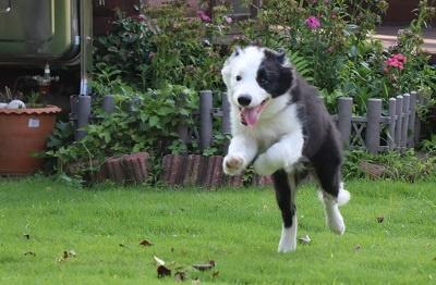 ボーダーコリーの子犬(ID:1242811012)の3枚目の写真/更新日:2019-04-17