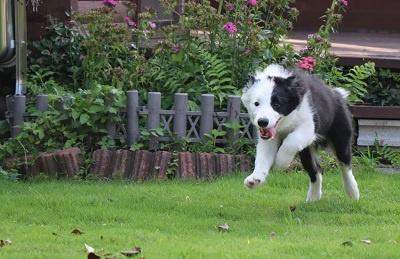 ボーダーコリーの子犬(ID:1242811012)の4枚目の写真/更新日:2019-04-17