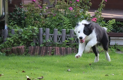 ボーダーコリーの子犬(ID:1242811012)の5枚目の写真/更新日:2019-06-10