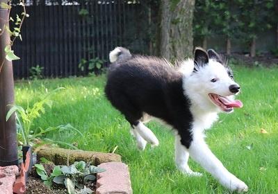 ボーダーコリーの子犬(ID:1242811012)の6枚目の写真/更新日:2019-06-10