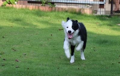 ボーダーコリーの子犬(ID:1242811012)の8枚目の写真/更新日:2019-06-10
